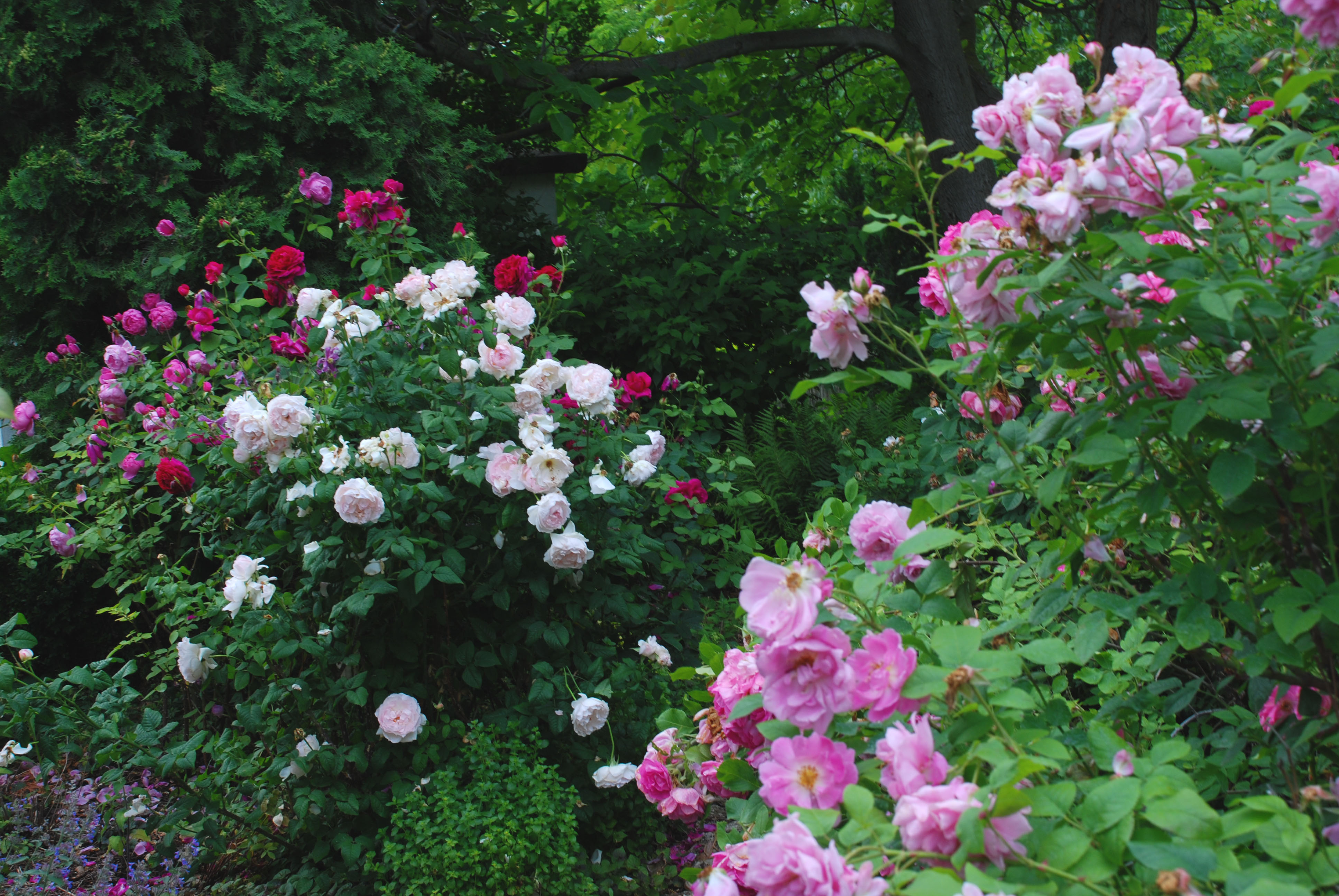 A Garden Diary The Visit Of The Hungarian Rose Society