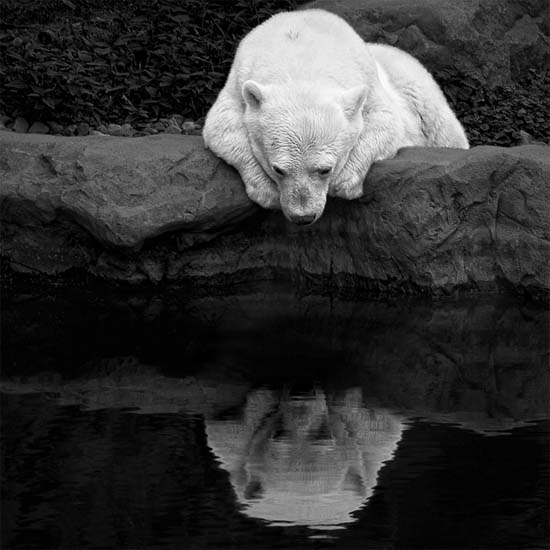 White bear consulting his own mirror image