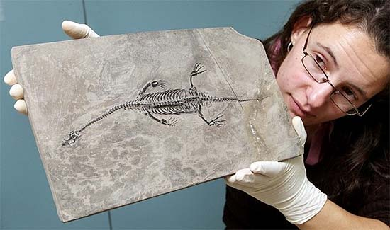 Examination of a 200 million years old fossil in the Victoria Museum, Australia