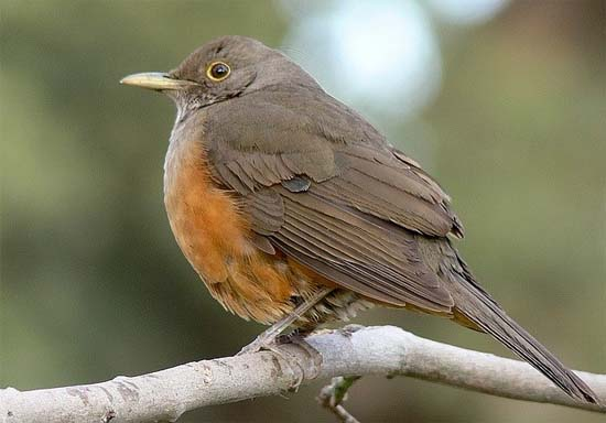 Zorzal colorado / Rufous-bellied Thrush / Turdus rufiventris